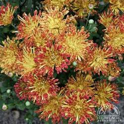 plant profile for chrysanthemum matchsticks garden mum perennial