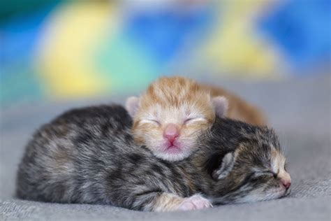 newborn kittens tracking kittens development newborns to one week