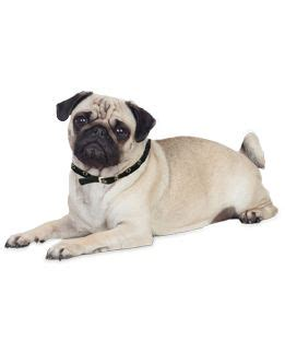 best brush for a pug 21 best png chien images on adoption and books