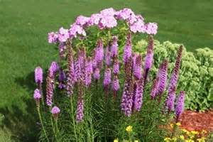 Tall Flowering Plant - gayfeathers flowers
