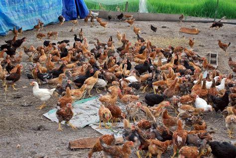 bisnis plan ternak ayam kampung