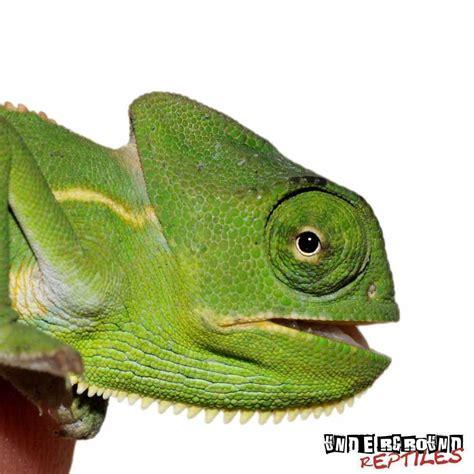 veiled chameleon colors baby veiled chameleons underground reptiles
