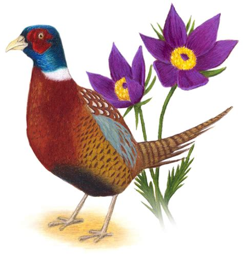 state bird of south dakota south dakota state bird and flower ring necked pheasant phasianus colchicus pasqueflower