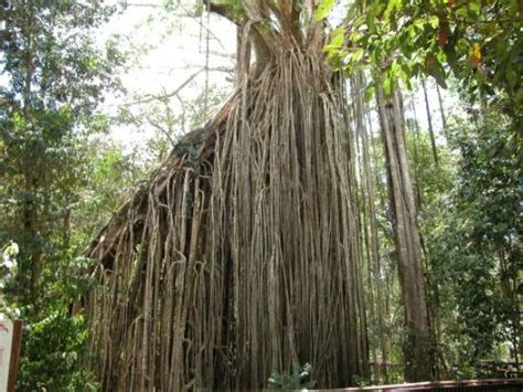 curtain tree curtain fig tree in yungaburra picture of yungaburra