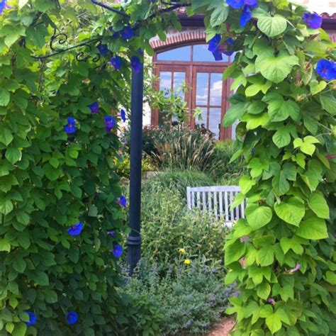 morning glory flowers gardening yard ideas pinterest