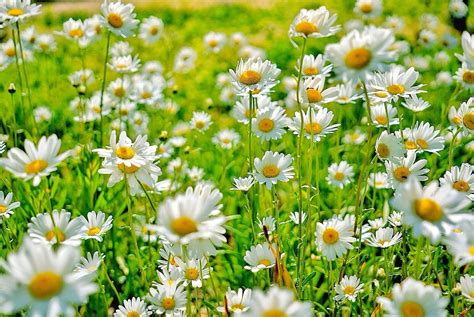 daisy facts things you didn t know about daisies daisy fun facts