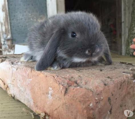 testa d ariete coniglio nano bianco testa d ariete posot class