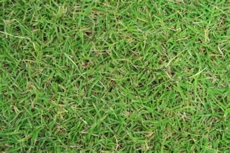 couch grass varieties laudberg park turf supplies green couch