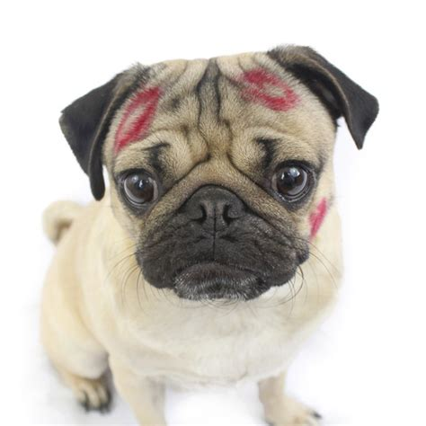 the pugs top 20 pugs of instagram 2015 the pug diary