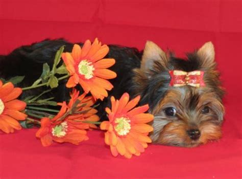 tiny teacup yorkies for sale in kentucky 1000 images about tiny yorkie puppies for sale on yorkie puppies for