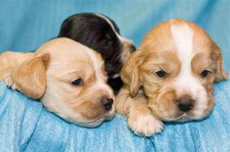 how much are cocker spaniel puppies three cocker spaniel puppies 3 comments hi res 720p hd
