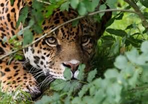 Pictures Of Jaguar Cats The Jaguar Panthera Onca Big Cat Flickr Photo