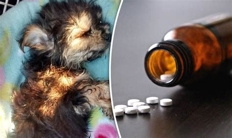 teacup yorkie problems sick teacup yorkie dumped to die by cruel owner because he was expensive to treat