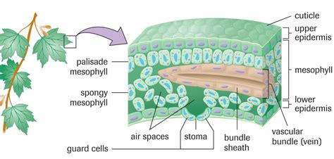 leaf structure diagram chlorophyll not so borophyll sbi4u 2013 resource guide