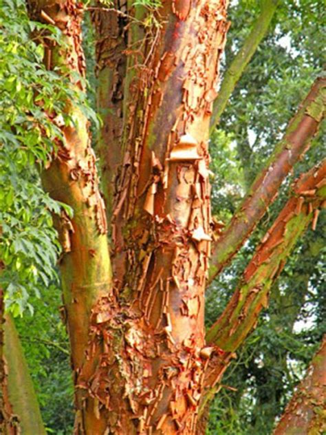 Tree That Sheds Bark by Treeaware Bark Shedding Trees Plane Trees