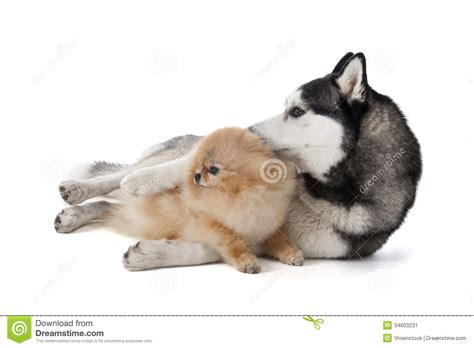 husky and pomeranian puppies two dogs siberian husky and pomeranian cuddling stock image image 34603231