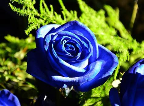 arti bunga mawar berdasarkan warna  jumlah