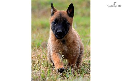 belgian malinois puppies for sale in pup belgian malinois puppy for sale near san antonio 7d0908c7 e681