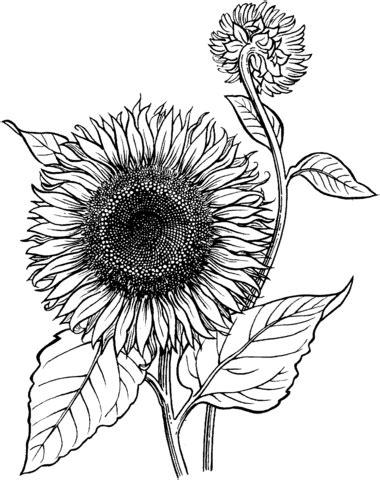 Outline Of Sunflower To Colour by Ausmalbild Bl 252 Hende Sonnenblume Ausmalbilder Kostenlos Zum Ausdrucken