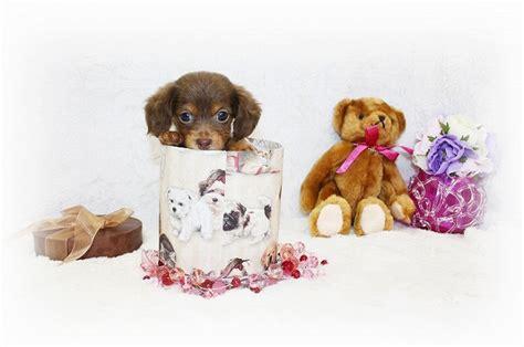 happy colors soraya s blog カニンヘンダックスロング 2011年7月7日生 チョコタン 女の子 飼い主様が決まりました 犬