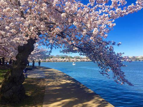 cherry tree 10 miler washington dc unfurls in washington dc at the national cherry blossom festival