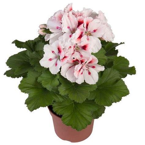 regal pelargonium elegance francis gerani