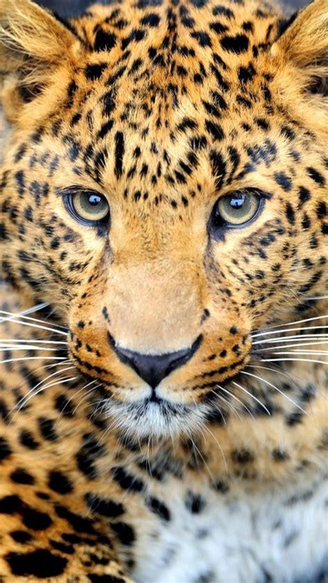Download HD Cheetah Leopard Sitting On Rock Wallpaper