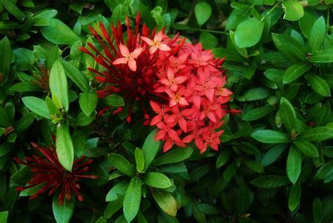 flowering shrubs in florida south florida flowers mhmphotos