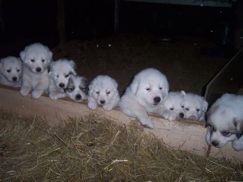 great pyrenees puppies for sale in ohio great pyrenees for sale in ohio from gold strike boer goats