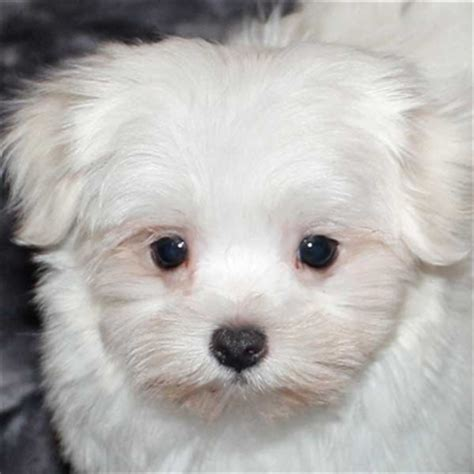 maltese puppies florida maltese puppy for sale in boca raton south florida