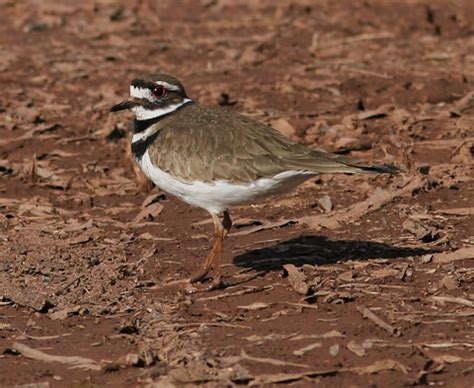 killdeer charadrius vociferus the firefly forest
