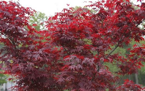 fireglow japanese maple picture gardenality