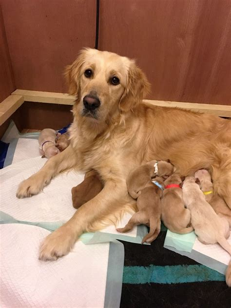 golden retriever puppies for sale swansea beautiful golden retriever puppies kc registered swansea swansea pets4homes