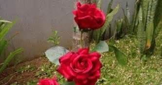 menanam bunga mawar  batang   pot