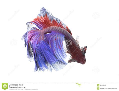 animates betta design aquarium mono betta fish closeup colorful dragon fish stock photo