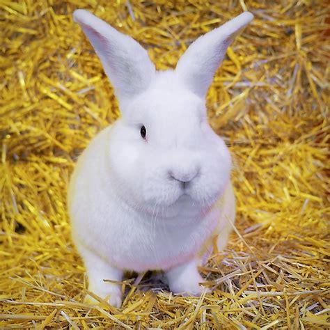 b07csr31fb la tete du lapin bleu lapin blanc gallery