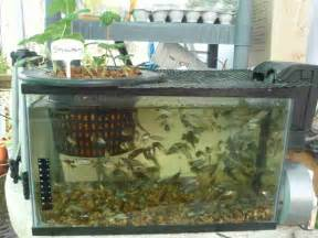 Backyard Trout Farm Tilapia A Great Choice For Your Aquaponics Systems