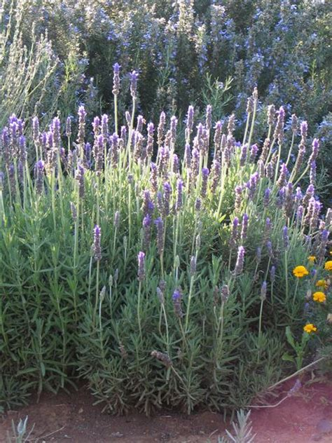 Who To Decorate A Home by Lavender French Elegance Lavandula Dentata