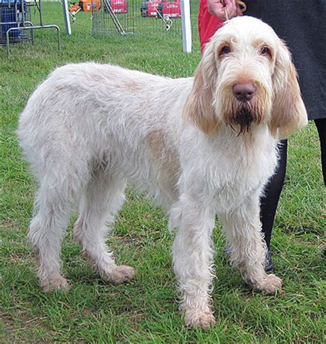 spinone italiano puppy spinone italiano info temperament puppies pictures
