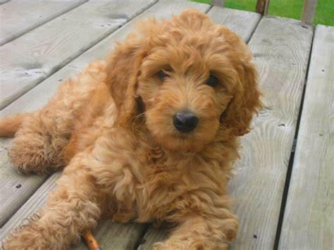 goldendoodle puppy personality uncover your pup s past with a dna test