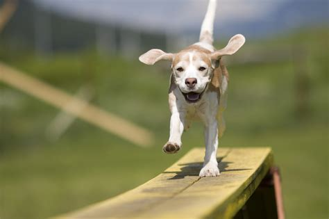 happy dogs pets rule the doors article walk in walking the plank stuff puppy beagle