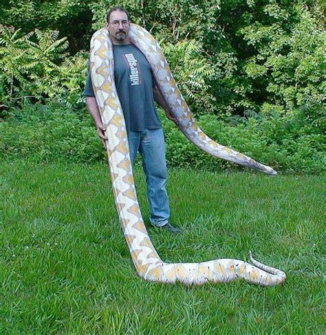 reticulated python reptiles pinterest python robert