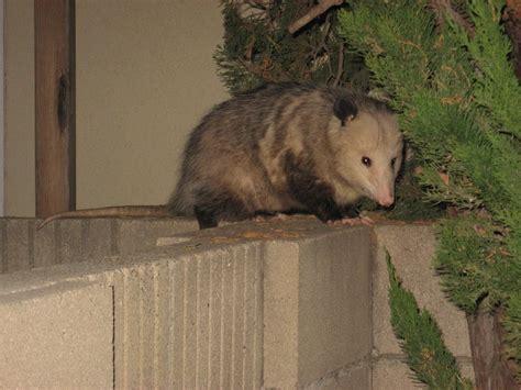 possum in backyard panoramio photo of big possum in our backyard gogo papa