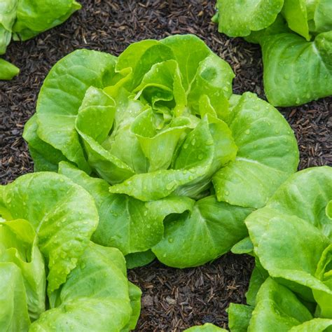 new year lettuce lettuce cos gem plants buy lettuce plants