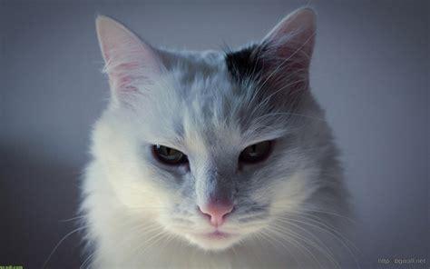 wallpaper cat abstrak cute white cat desktop wallpaper background wallpaper hd