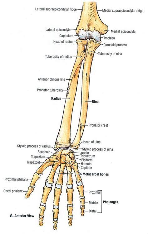Ulnar Styloid Anatomy