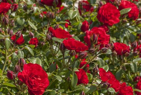 varietes de rosiers de jardin meilland international