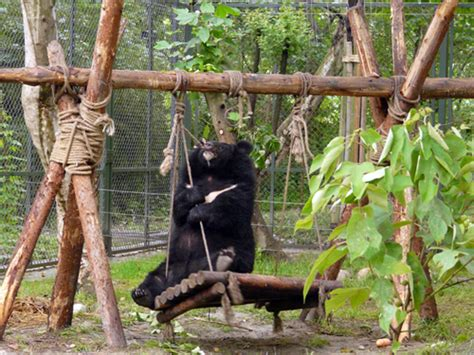 bear swing sanctuary for abused moon bears faces eviction in vietnam