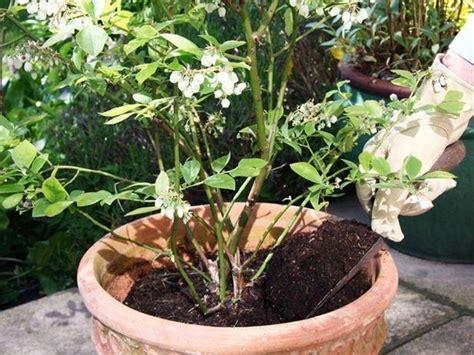 pianta di mirtillo in vaso pianta di mirto aromatiche pianta di mirto erbe