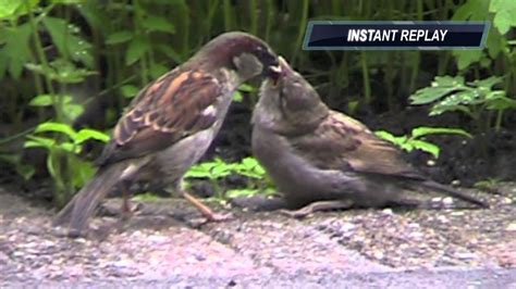 sparrow feeding baby bird musje voert ze jong youtube